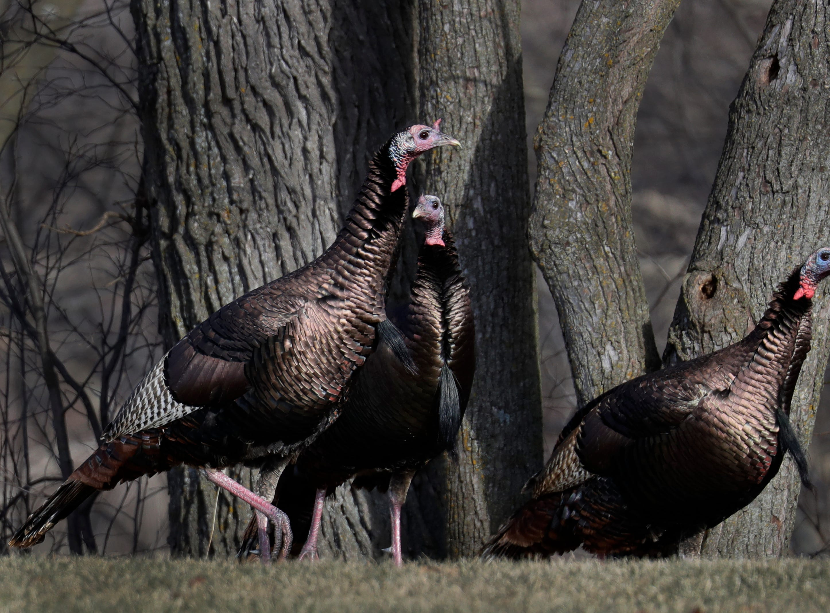 Turkeys forage food along the Little Wolf River Wednesday, January 9, 2019, in New London, Wis. 