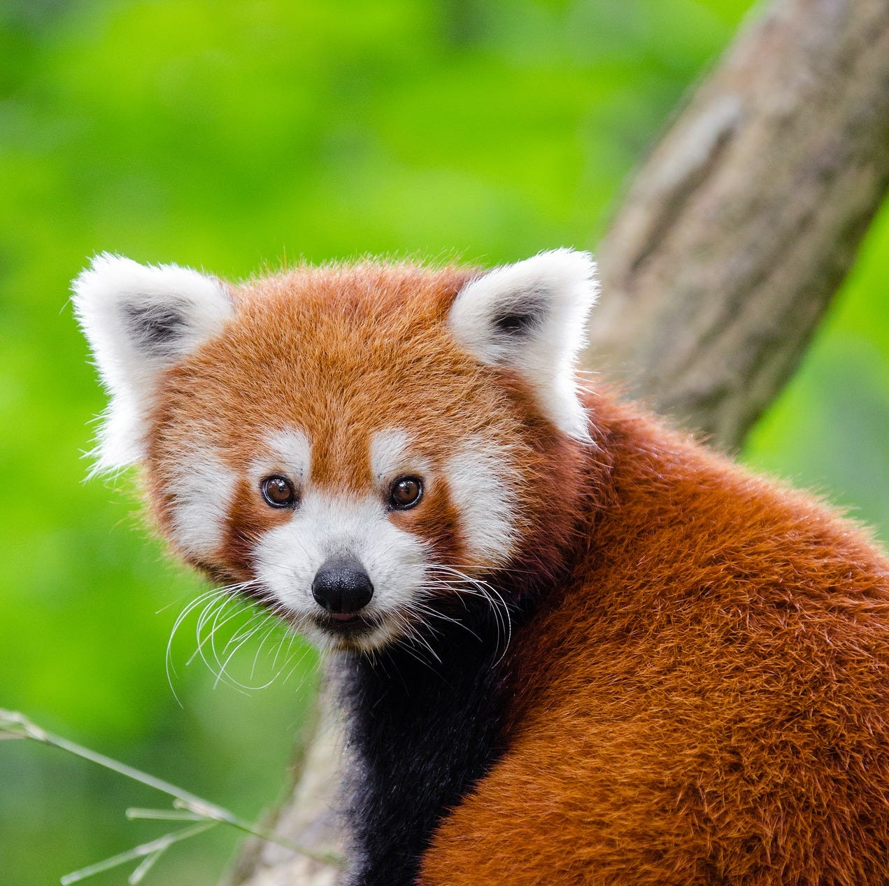 Nature Center Notes: Meet the red pandas