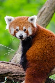 WNC Nature Center welcomes red pandas Leafa and Phoenix in February.