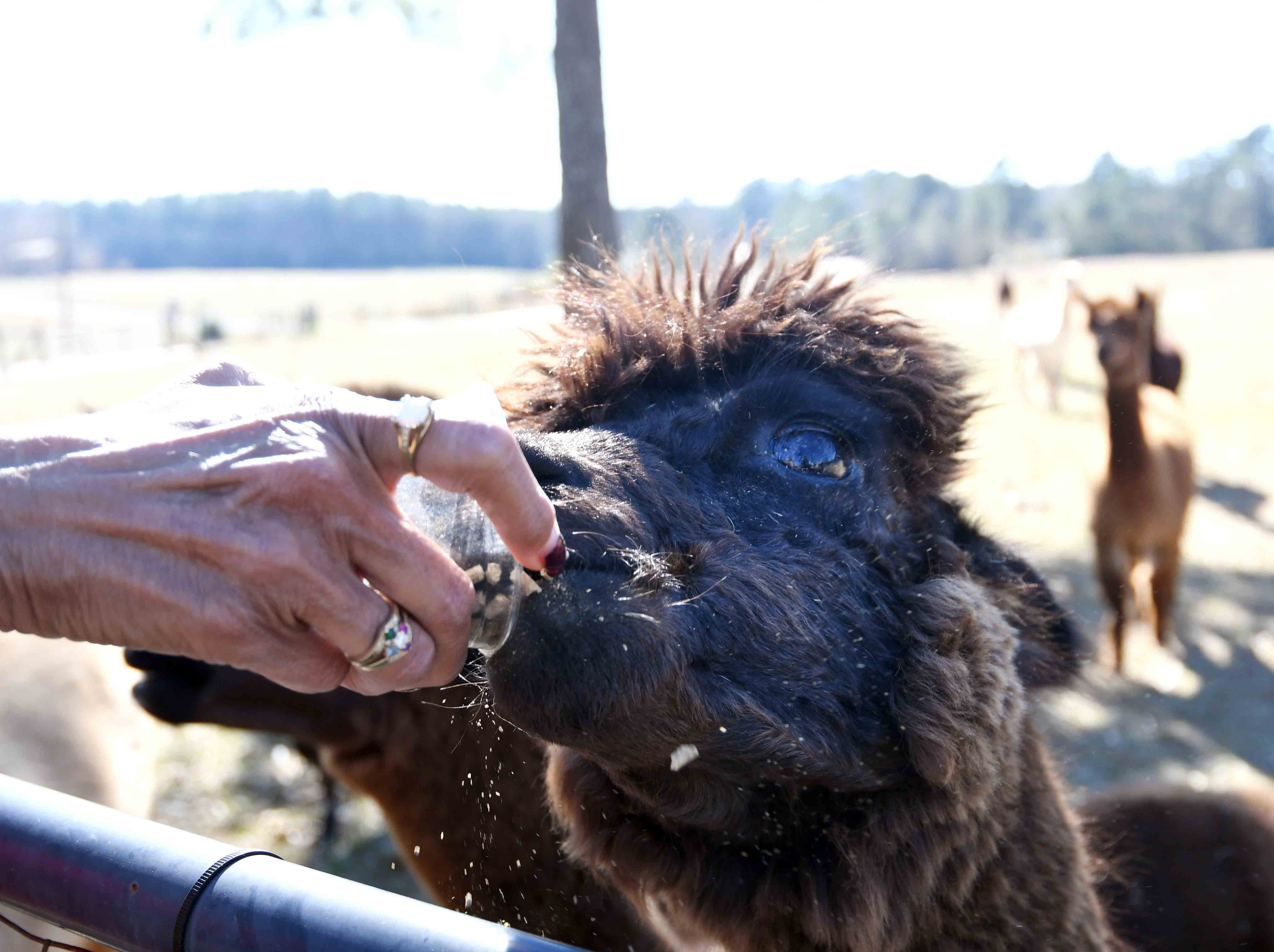 The alpaca on Mary Ann Stroka's farm are given pellets that contain nutrients to supplement their diet of mostly hay.