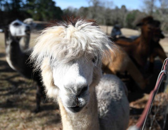 Alpaca are shorn once a year, which is necessary since they don't shed.