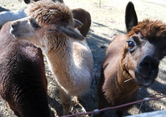 Alpacas are herd animals and eat mostly hay.