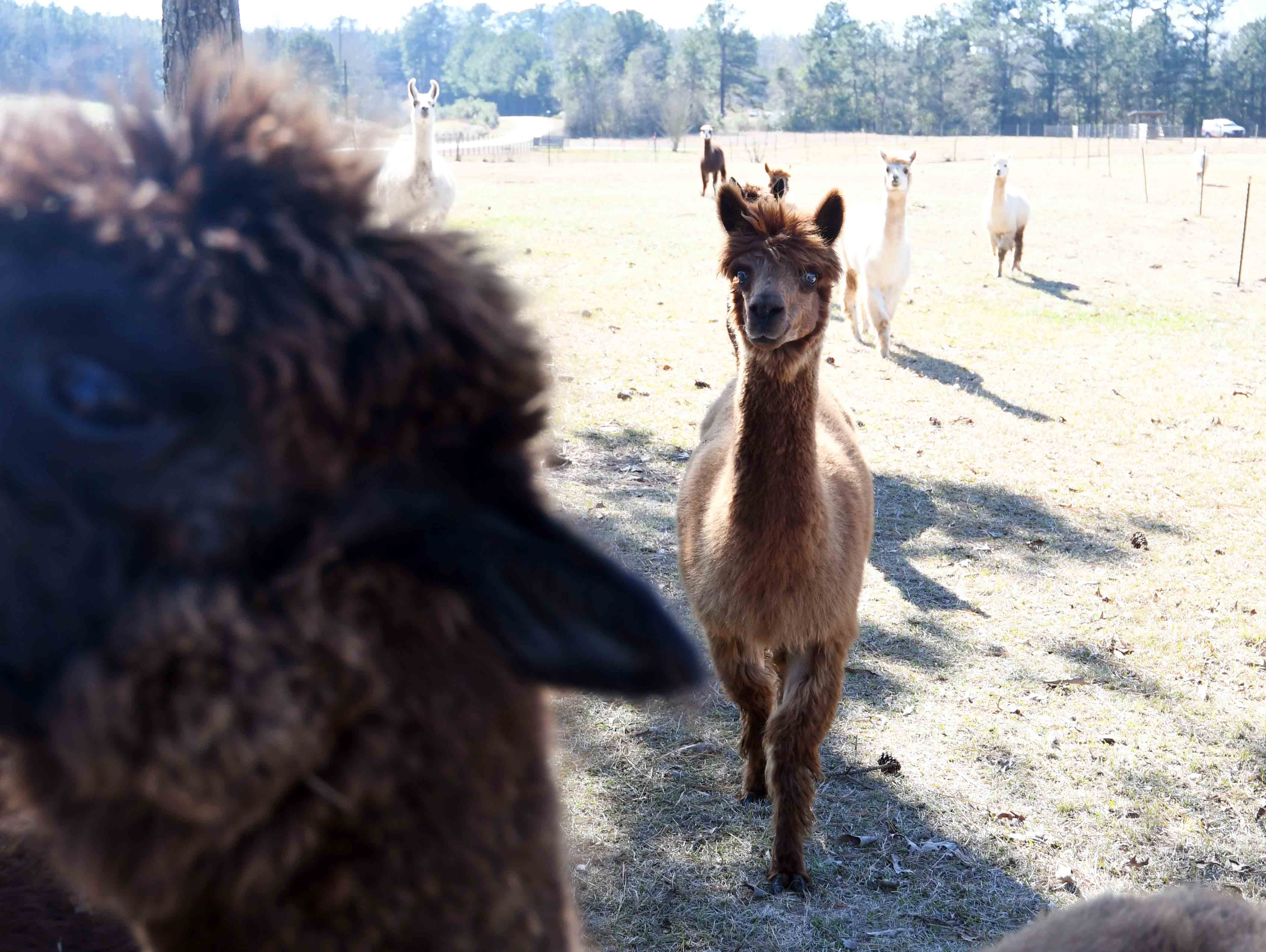 Alpacas are curious animals but tend to be a little shy.