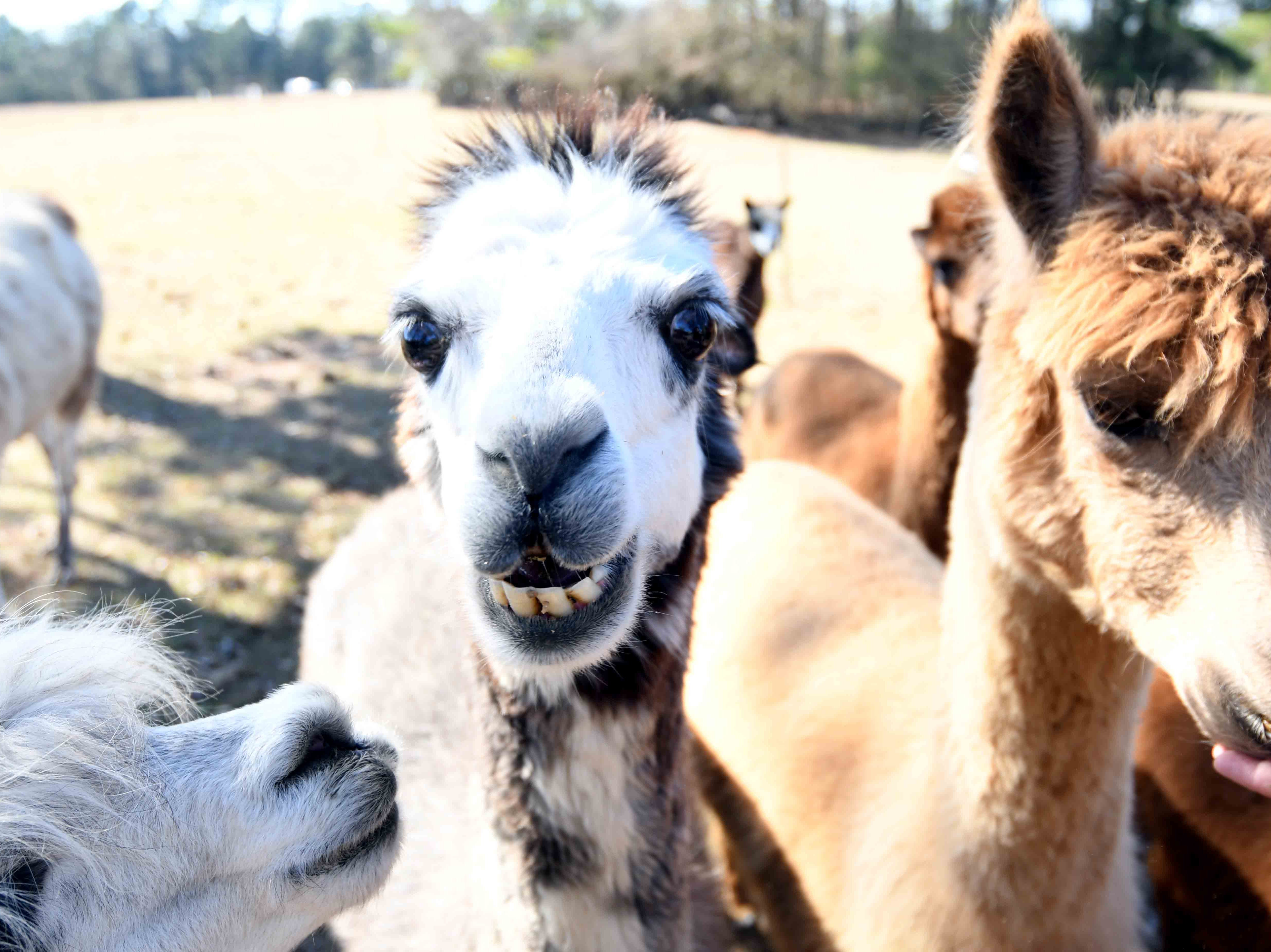 Mary Ann Stroka owns 20 alpacas on her farm in Stringer, Mississippi. The farm shears their alpacas and uses their wool to make yarn for a variety of clothing. Farm tours are available including a store where alpaca products can be bought.