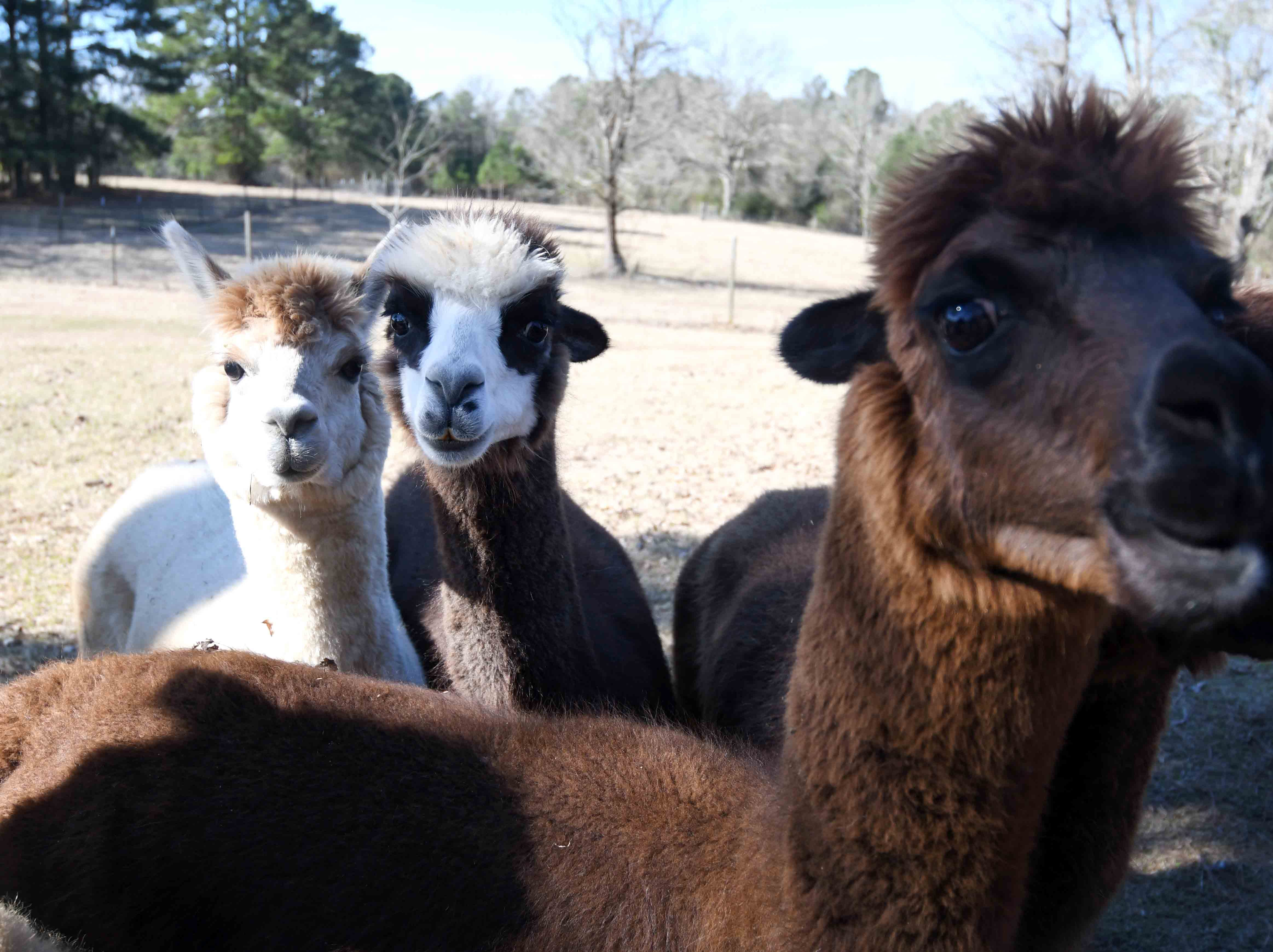 A Stroka-Gene-Us Alpaca Farm in Stringer offers tours to groups and families who want to learn more about the South American animal.