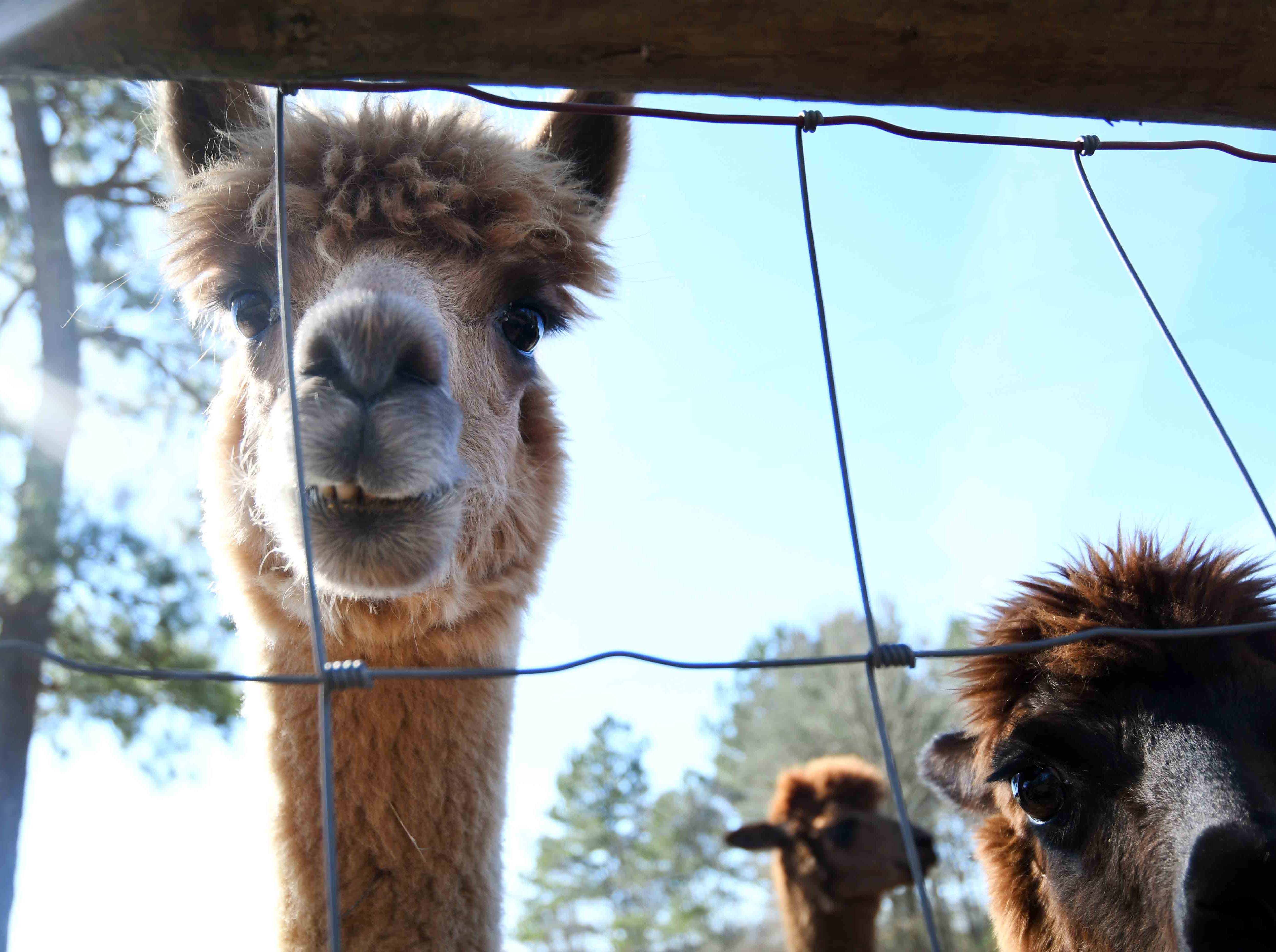 Alpacas are smaller than llamas, but both are in the same family as camels.