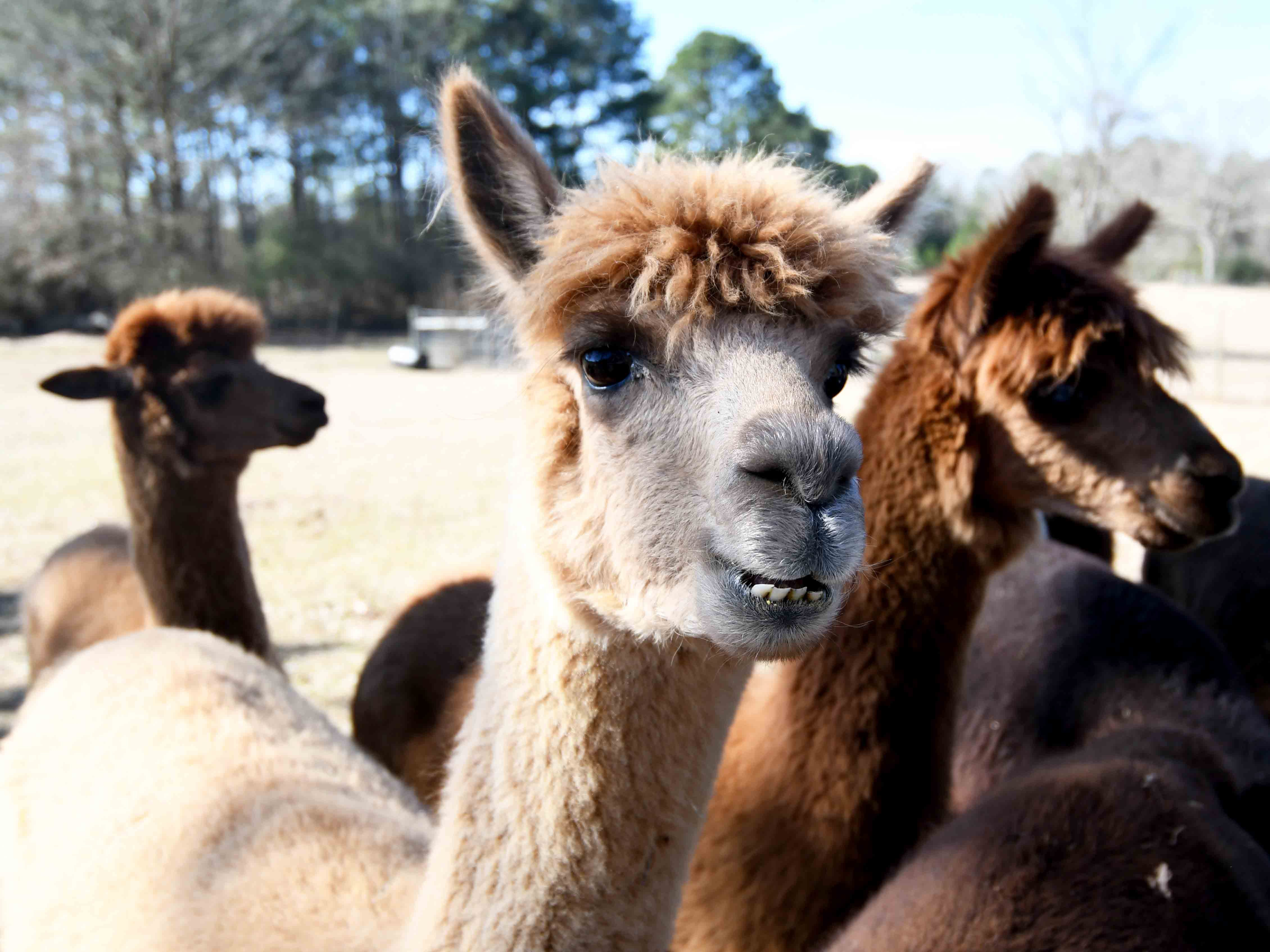 A Stroka-Gene-Us Alpaca Farm is located in Stringer, Mississippi, about 65 miles from Hattiesburg.