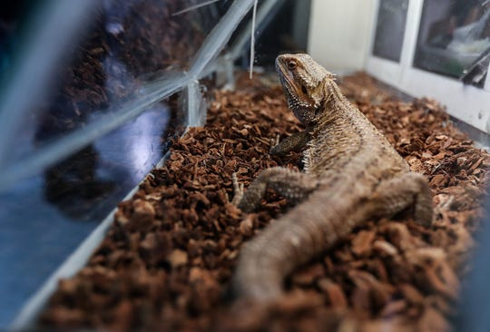 The bearded dragon is one of the most popular exotic pets in the state.