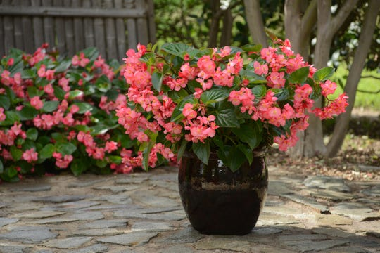 A strong performer in the Cincinnati Zoo and Botanical Garden's plant trials, the Megawatt series of begonias thrives in Indiana gardens or pots.