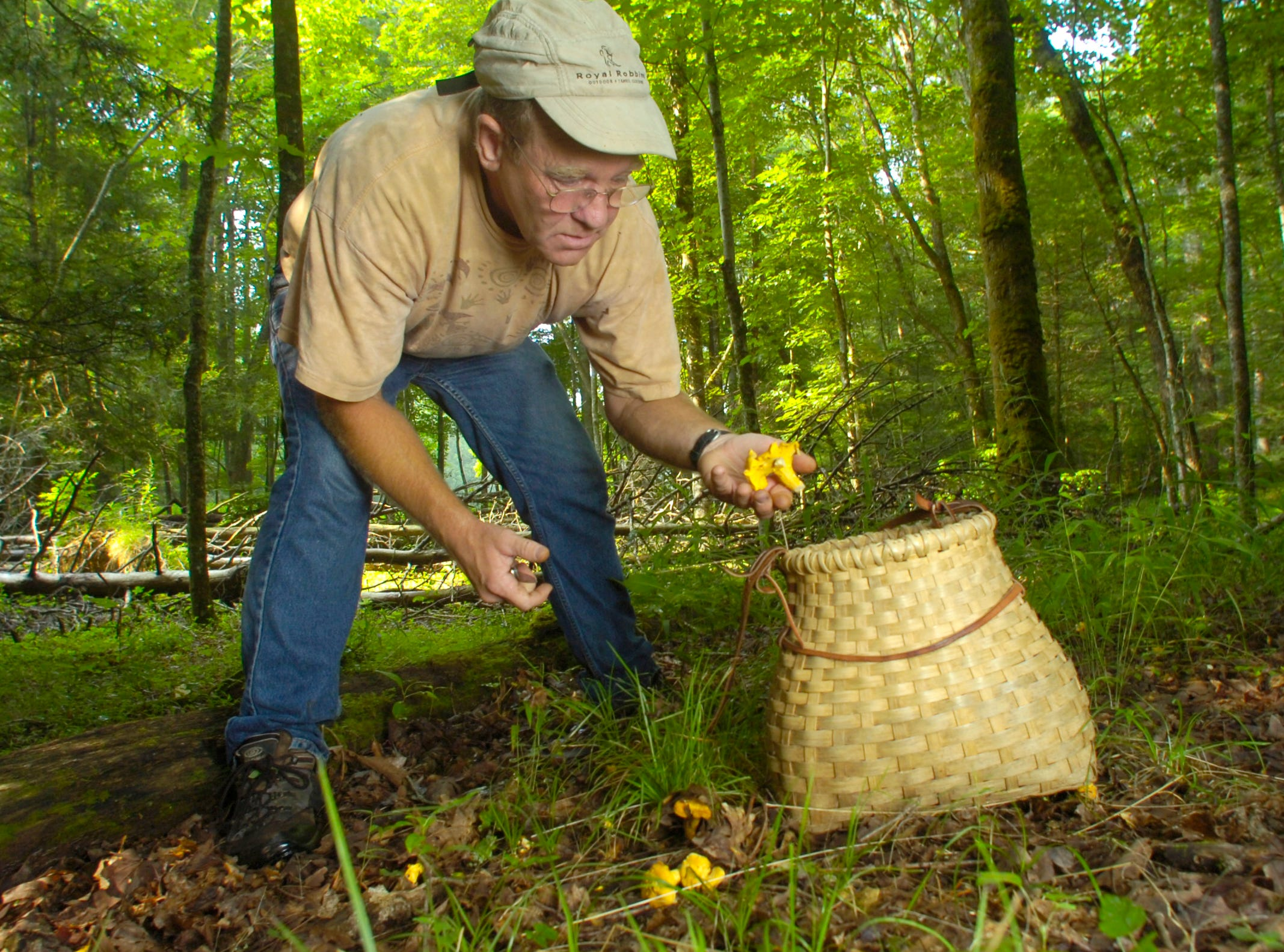 """Naturalist Whitey Hitchcock collects chanterelles from the forest floor Tuesday in Cades Cove in the Great Smoky Mountains National Park. The choice, edible fungi are prized by chefs but it took Hitchcock a while to appreciate them. """"When I first starting eating them, I didn't like them, but they grew on me. They go real good with gamey food like elk and wild pig,"""" he said."""