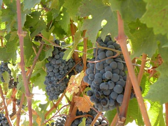 Cabernet sauvignon grapes ripen at Oak Farm Vineyards in Lodi.