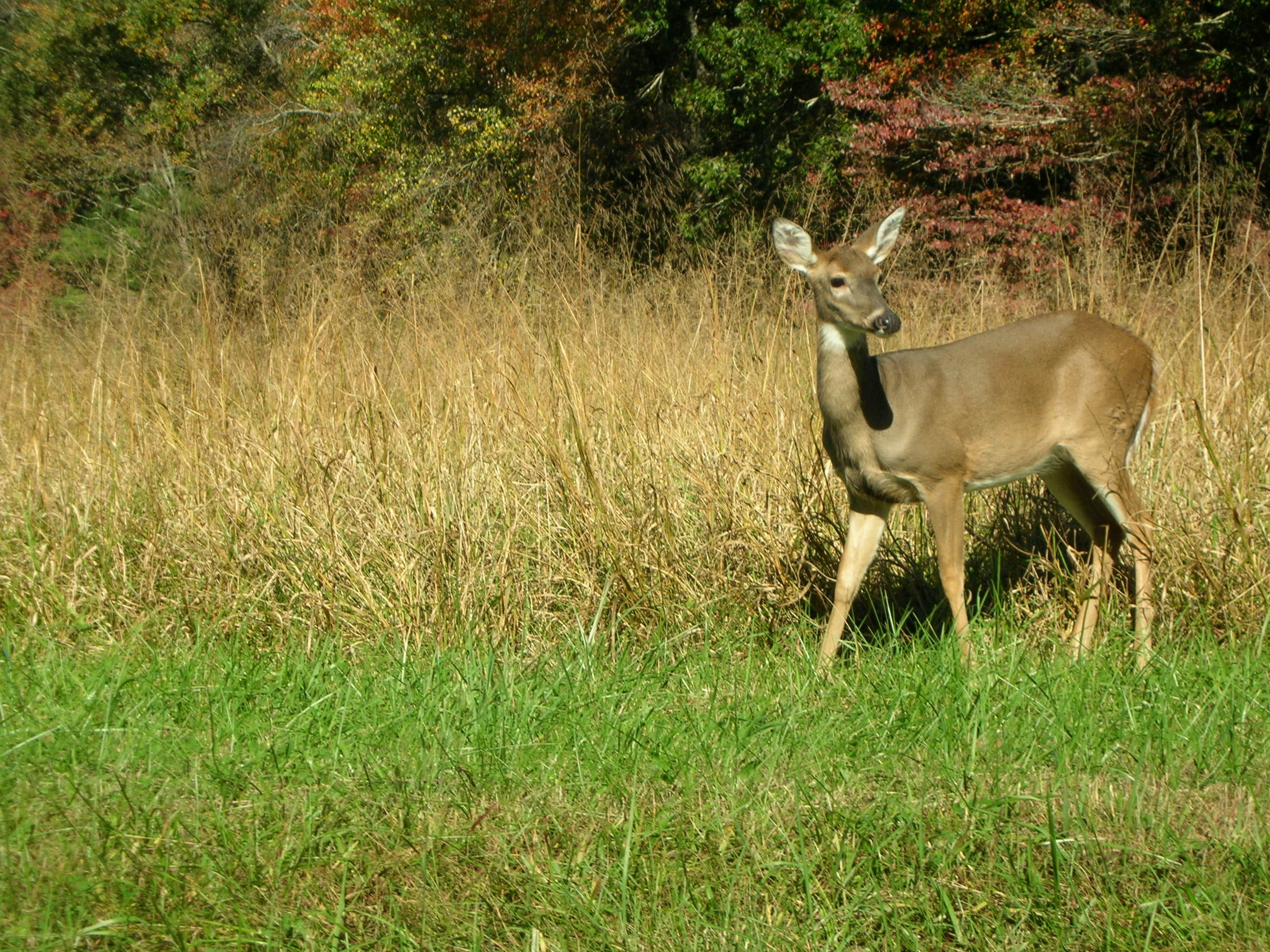 A deer slowly picks its way across a field at Cades Cove in the Great Smoky Mountains National Park. Cades Cove is regarded as the most visited part of the country's most visited national Park. October 2005