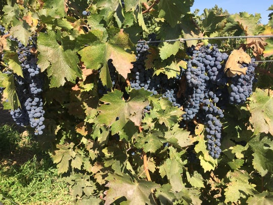 California's Lodi region features more than 100,000 acres of vines, twice as many as Napa Valley. In the past decade, it has emerged as a producer of fine wines rather than simply a supplier of grapes.