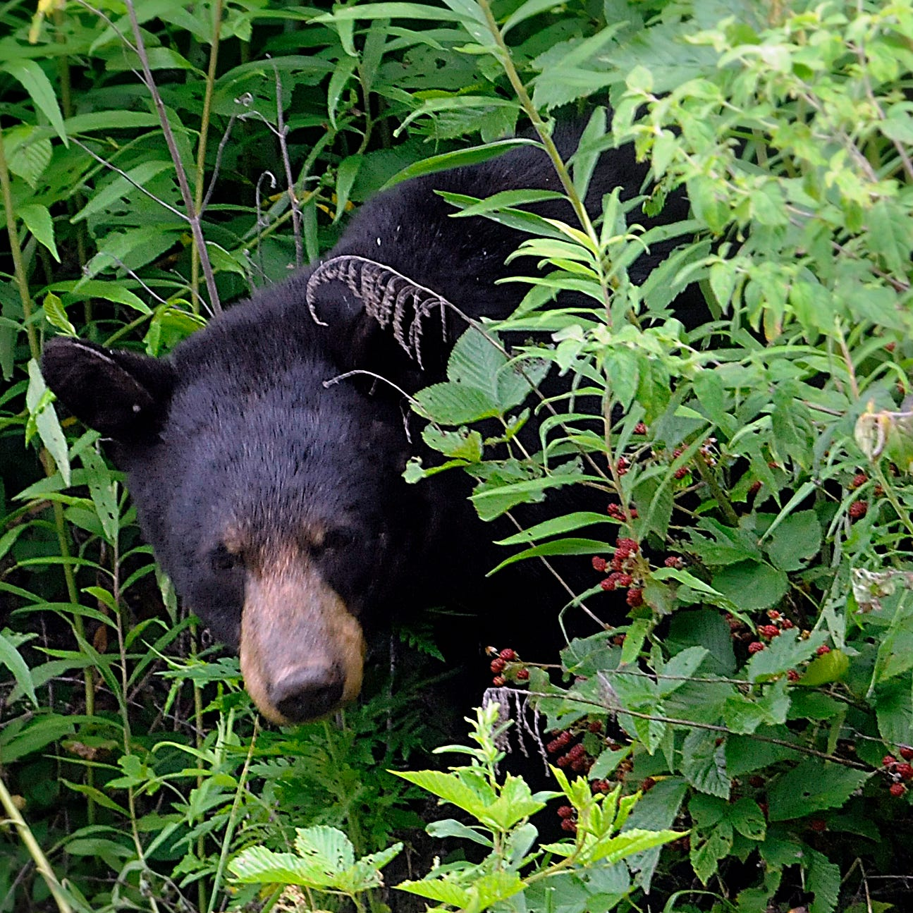 Black bear spotted near Cherryvale Avenue in Little Chute