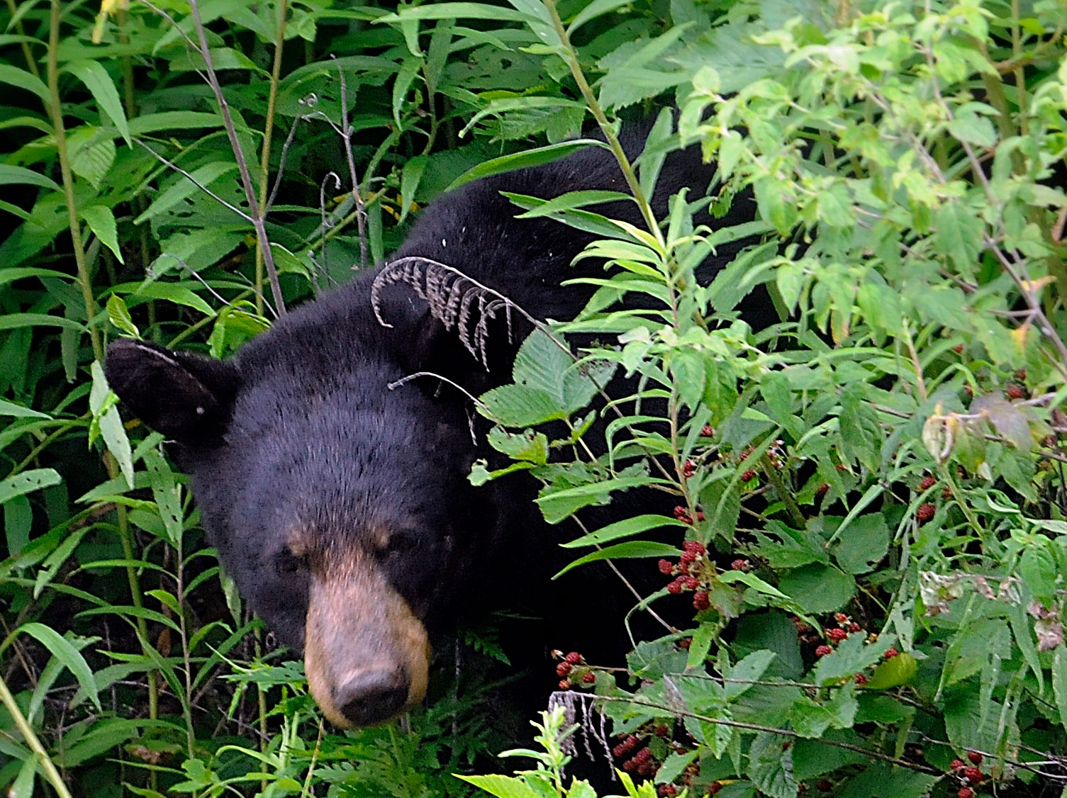 A black bear lunches on blackberries in Cades Cove July 10, 2009 in the Great Smoky Mountains National Park.