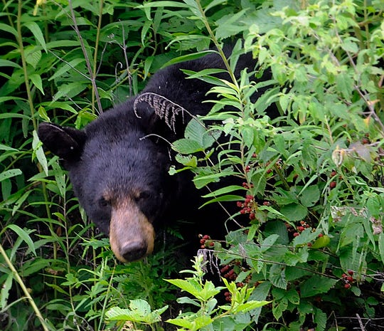 A black bear was spotted Tuesday morning near Cherryvale Avenue in Little Chute. Here, a black bear snacks on berries in Great Smoky Mountains National Park.