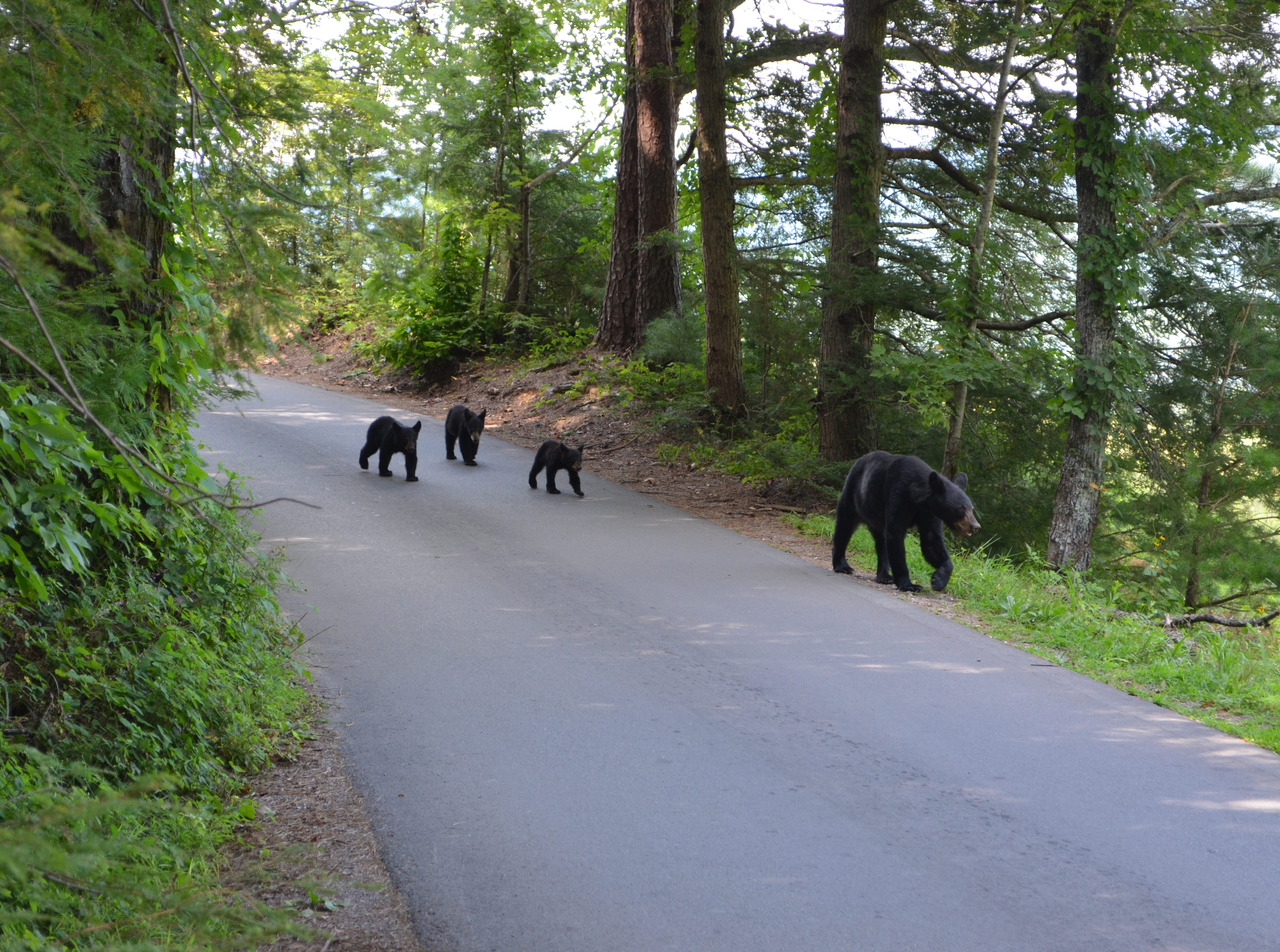 """Jack Evans photographed this black bear family a year ago on the Cades Cove Loop Road in the Great Smoky Mountains National Park. """"I saw a bear and a cub, then there was another, and another just ambling down (the) road,"""" said Evans. """"(They) passed right by me. I was overcome by their presence."""" The Rockford resident used a Nikon 5100.  (Jack Evans/Special to the News Sentinel)"""