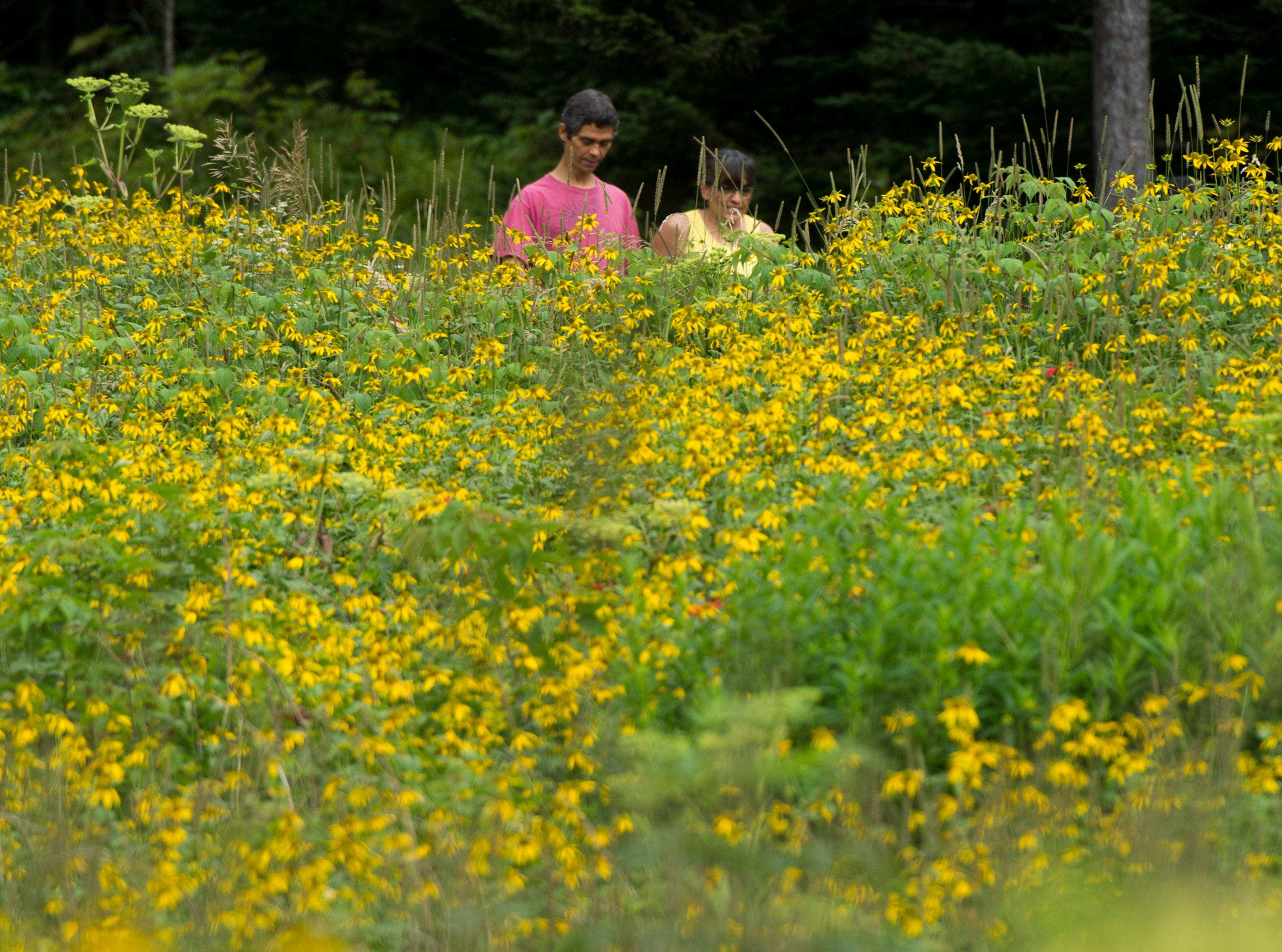 Coneflowers decorate the paved path from Clingmans Dome to the parking area.   (SAUL YOUNG/NEWS SENTINEL)