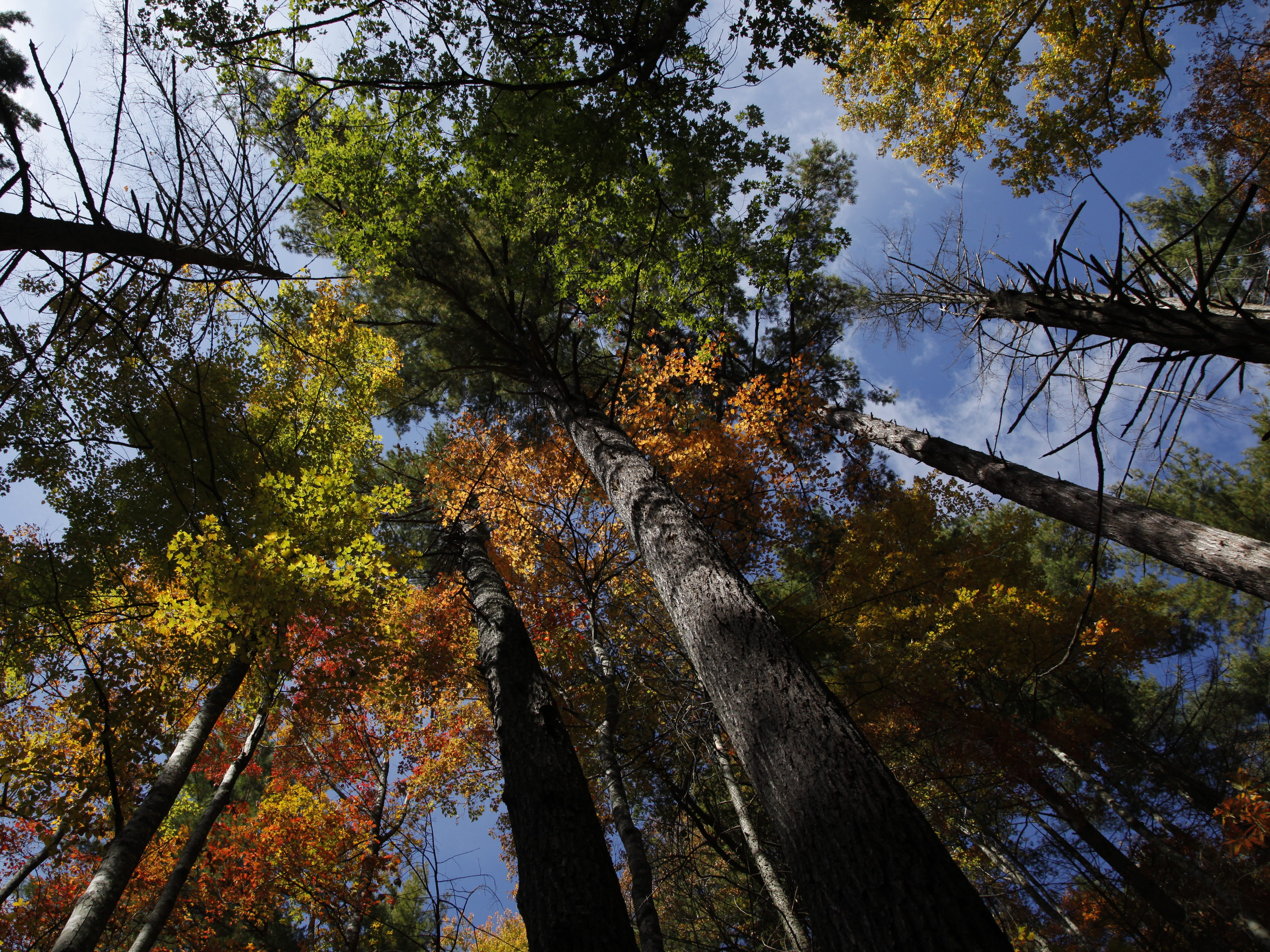 Maples and chestnut oaks display an array of Fall colors on the Crooked Arm Ridge Trail section of the 8.5 mile Rich Mountain Loop in the Great Smoky Mountains National Park near Cades Cove Wednesday, Oct. 26, 2011.  (ADAM BRIMER/NEWS SENTINEL)