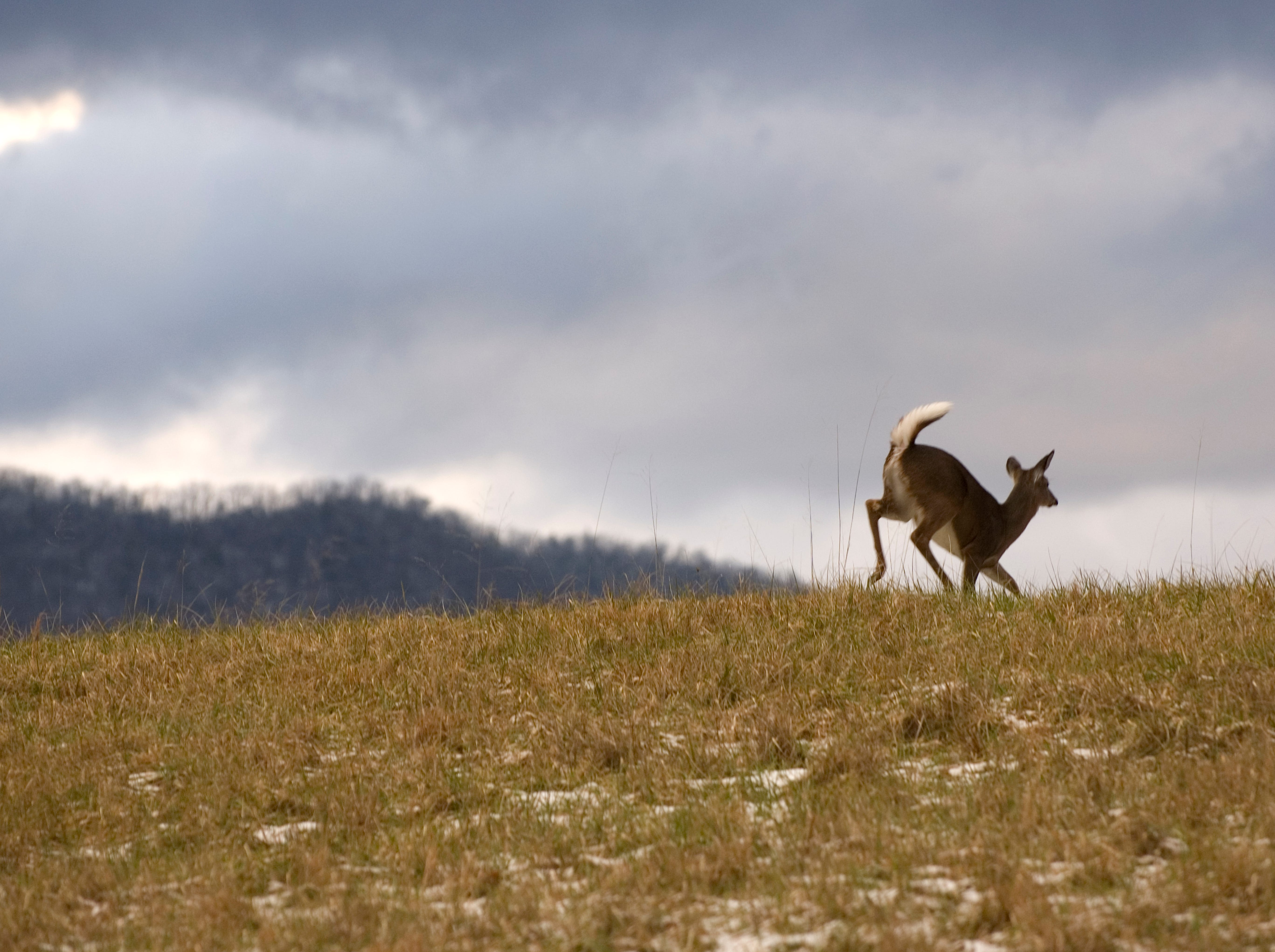 """A whitetail deer puts up a """"flag"""" to alert herd-mates of danger on Tuesday at Cades Cove in the Great Smoky Mountain National Park. GSMNP wildlife biologist Bill Stiver says visitors have an unique opportunity for viewing wildlife in Cades Cove which has one of the largest densities of deer in the park. """"But we've noticed an actual decrease in the Cades Cove deer population in the last 15 years which is possibly due to predators like bears, coyotes, and bobcats,"""" Stiver said. He cautions visitors not to approach wildlife too closely. """"We're trying to encourage people to observe from the roadside,"""" he said."""