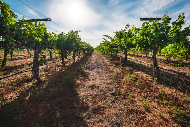 The vineyard where grapes are grown for the Sand-Reckoner Winery is in a high-altitude area near Willcox, Ariz.