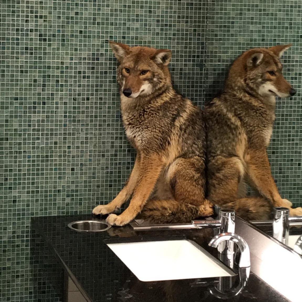 How a coyote got into Nashville's Music City Center