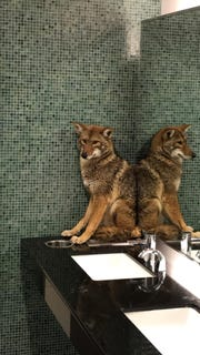 A picture of a coyote in a bathroom of the Music City Center in Nashville.