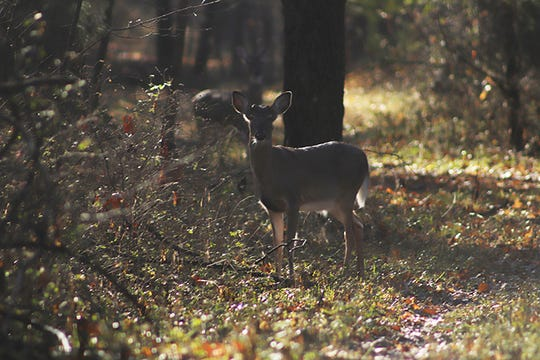 Tennessee's deer harvest is falling short as a new season is underway in response to confirmed chronic wasting disease.