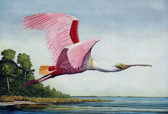 Work representing about 140 artists will be available for browsing and purchase during the 22nd annual Art Fest Naples, such as this piece called Roseate Spoonbill in Flight by John Costin Etchings and Watercolors.