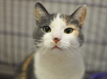 Mary Queen of Scots, 9, is super pretty and affectionate. She is spayed and declawed.