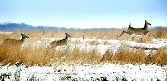 Deer cross a snow-covered field in Springfield Township Sunday, Jan. 13, 2019. The Pennsylvania Game Commission is considering a proposal to change the date of the opening of the firearms buck season. Traditionally, that date is the Monday after Thanksgiving. The proposal would change that date to the Saturday after Thanksgiving.