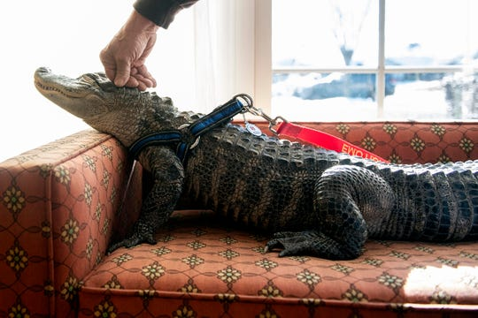 Wally, a 4-year-old emotional support alligator, soaks up the sun while his owner, Joie Henney, rubs his head at the SpiriTrust Lutheran Village at Sprenkle Drive, Monday, Jan. 14, 2019. Henney and Wally educated about 20 residents about alligators, while giving the residents a chance to pet the gator.