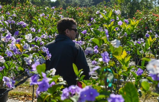 "Robert Snyder, partner with his parents Harry and Carol Anne Snyder of Lychee Tree Nursery, and acting manager of the business, walks through a patch of yesterday, today, and tomorrow trees, known as Brunfelsia, while looking for several to select for a customer in Palm Beach County on Monday, Jan. 14, 2019, at their location on Kanner Highway in Stuart. Costco Wholesale is proposing to  build next to Lychee on the south side of their business. ""Not real happy about it,"" Snyder said, ""Traffic is going to be horrendous on the road, that's our biggest concern, along with the light pollution, noise pollution, everything else."""