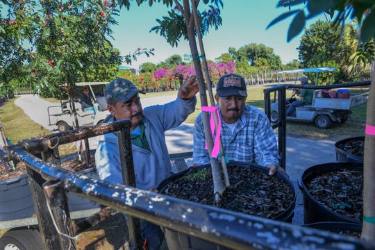 Lychee Tree Nursery staff Inocente Yanez (left), and Bartolo Lapez, load trees onto a lift truck, on Monday, Jan. 14, 2019, as part of a delivery to a customer in Palm Beach County. Lychee Tree Nursery first started up in the mid-70s selling citrus trees. Costco Wholesale is proposing to build on property next to Lychee on the south side, while Martin County High School boarders Lychee to the north.
