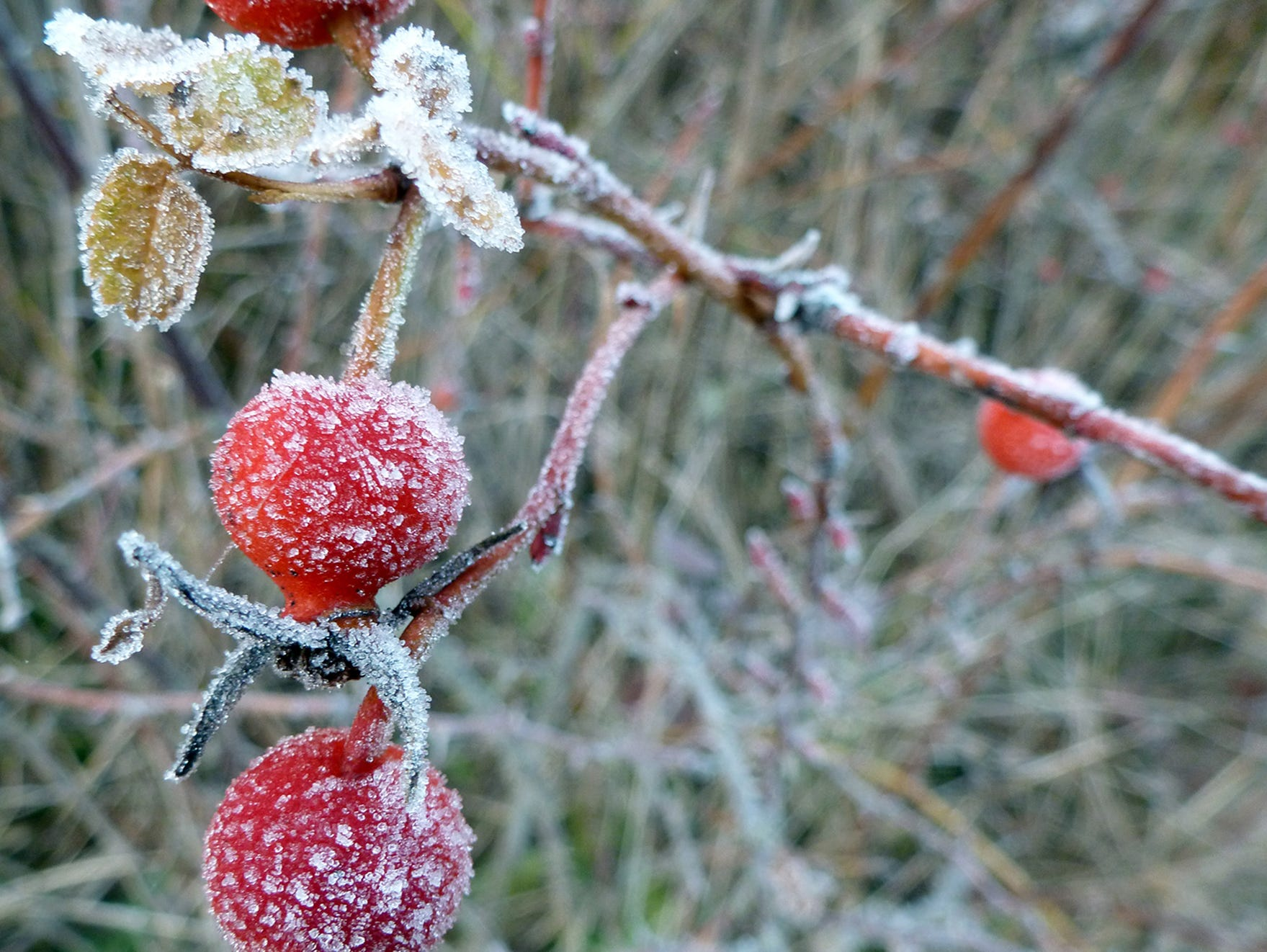 Morning frost sticks to rose hips at Old Mill Park in Silverdale on Tuesday, January, 15, 2019.