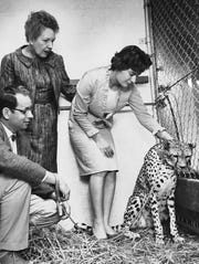 """Maggie"" the cheetah, one of the recent arrivals at the Indianapolis Zoo was visited by zoo director Dan Watson, former owner Mrs. Florence Philpott and her daughter Valri Sandoe at her new home at the Indianapolis Zoo in 1966."