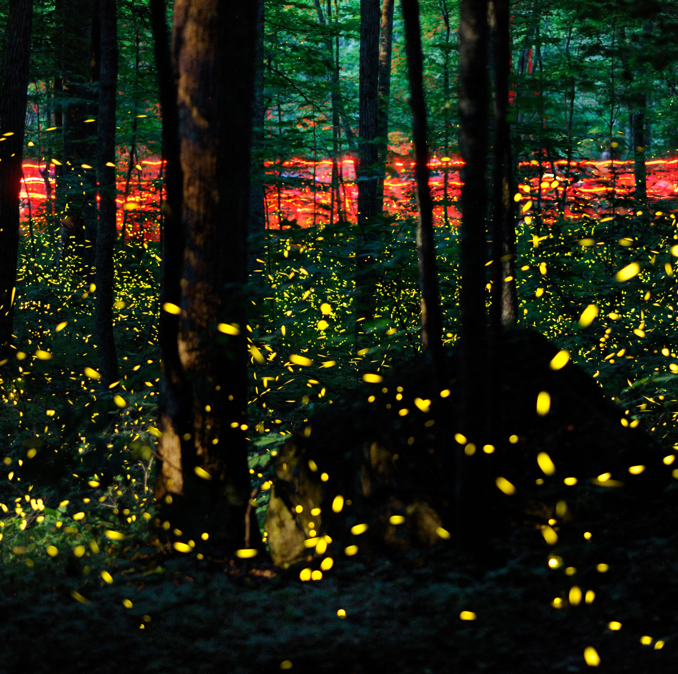 When you can view synchronous fireflies at Elkmont; enter lottery for parking pass