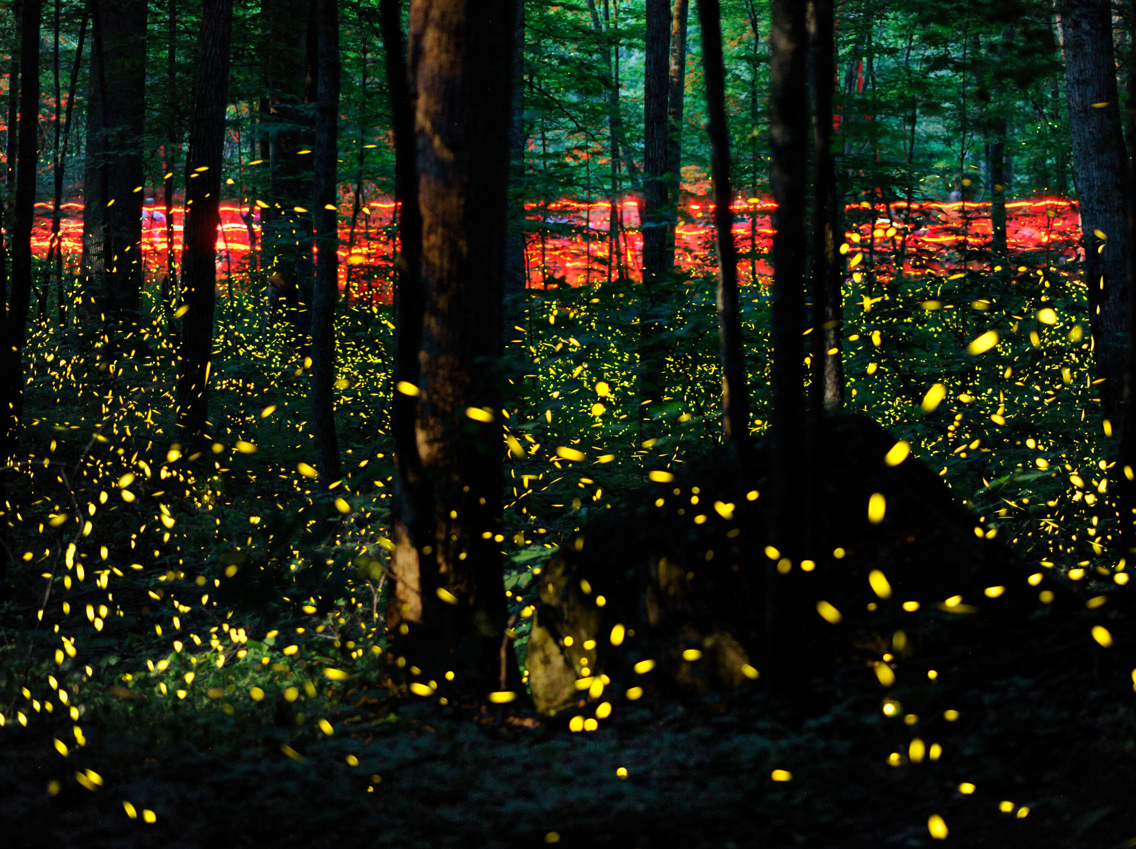 Foot traffic accompanies air traffic, as attract human visitors  carrying red flashlights walk the Little River Trail to observe synchronous fireflies in their annual mating ritual in the Great Smoky Mountains National Park's Elkmont Campground on Tuesday, June 3, 2014. Fireflies' peak flashing lasts about two weeks, with people's subsiding soon after.