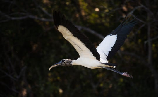 A wood stork takes flight after feeding in a wet land off of Six Mile Cypress Parkway in south Fort Myers in October of 2018.
