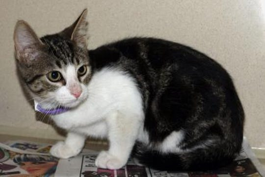 Babbit is about 5 months old and is a very handsome brown/white short haired Harlequin tabby