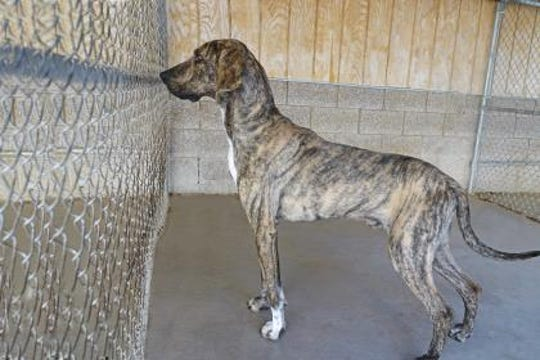 Huckleberry is a handsome brindle  66-pound Great Dane/Hound mix.