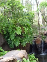 Elephant ear and other jungle tropicals are extremely vulnerable to frost damage.