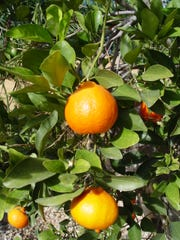 Frost can interfere with bloom and fruit production in citrus.