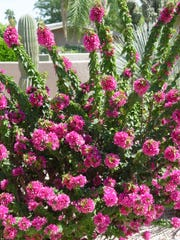 Rangy bougainvilleas are more prone to frost damage than sheared ones.