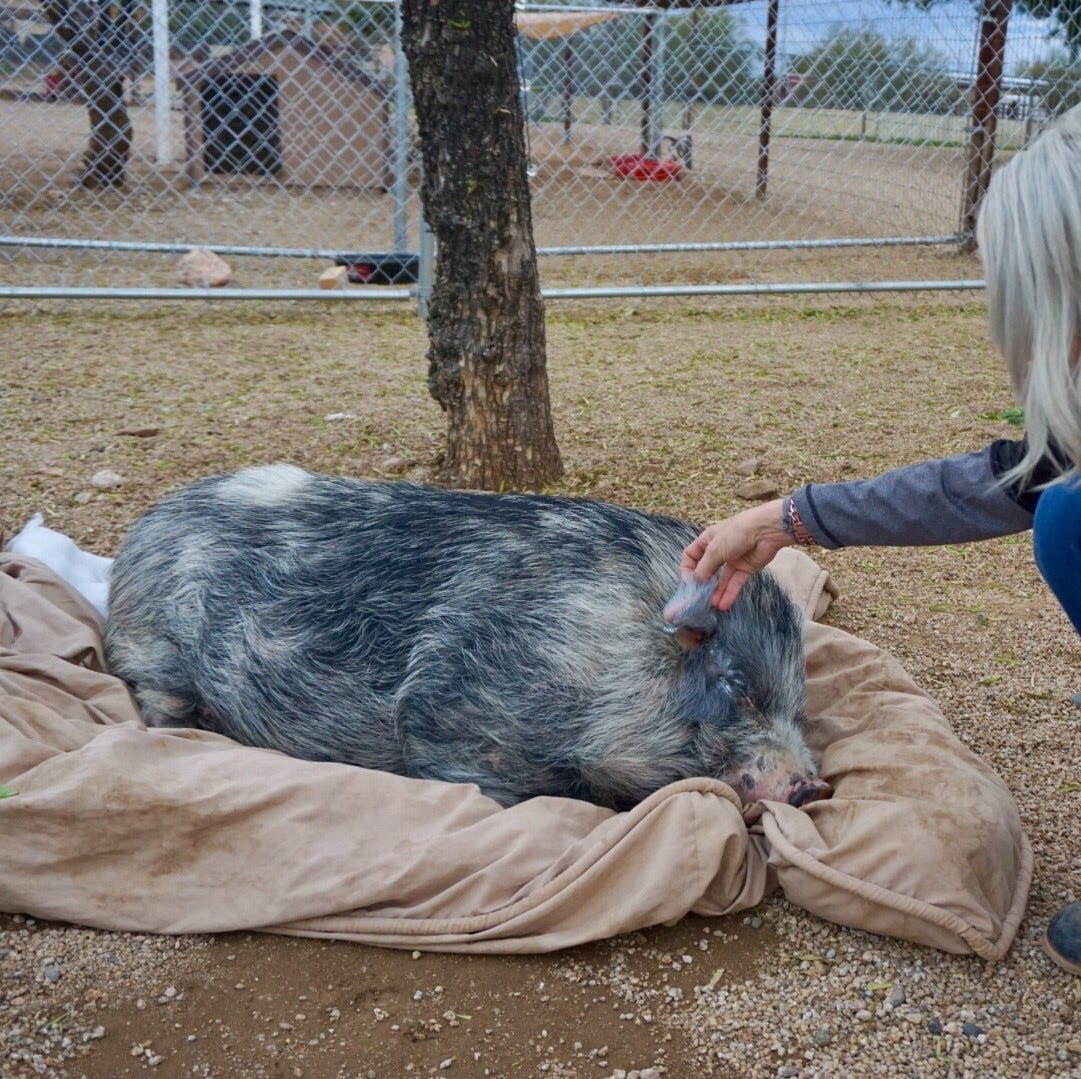 Phoenix Pig sanctuary offers 'piggy yoga session' near 24th Street and Carefree Highway