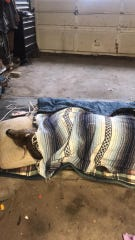 A buck rescued from ice  rests in John Stoll's Wellsville garage Saturday, Jan. 12. Photo courtesy of Terri Stoll.