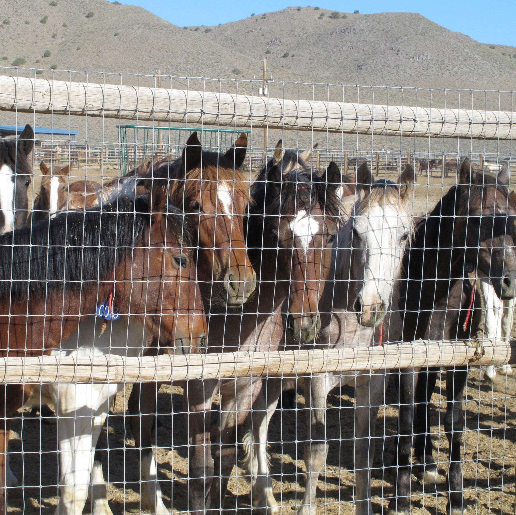 Agency built pen for possible horse slaughter