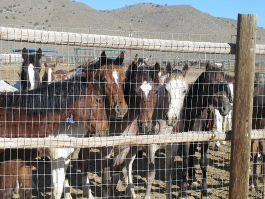 In this June 5, 2013 photo, some of the hundreds of mustangs the U.S. Bureau of Land Management removed from federal rangeland peer at visitors at the BLM's Palomino Valley holding facility about 20 miles north of Reno in Palomino Valley, Nev.