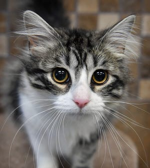 Cuddles is a 1 year-old, female, gray tabby domestic medium haired cat. She is playful and affectionate. Cuddles is available for adoption at the Wichita Falls Animal Services Center.