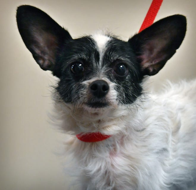 Pipa is a 6-year-old, black and white, Chihuahua-terrier mix. She is spayed and loves attention. Pipa is available for adoption at the Wichita Falls Animal Services Center.